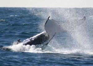 Whale Watching Sydney - Sydney Tourism